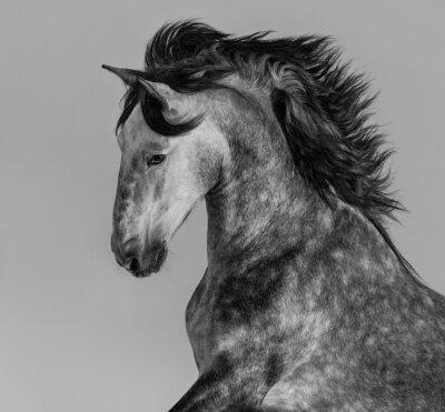Carta da parati Dapple-grigio stallone andaluso - ritratto in movimento