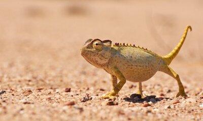 Carta da parati Desert Chamaeleon nel Namib, Namibia