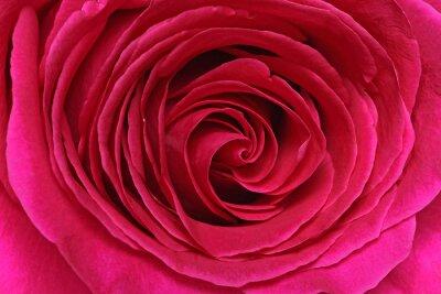 Carta da parati Détail d'une rose
