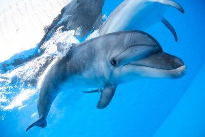 Carta da parati Dolphin nuota sotto l'acqua