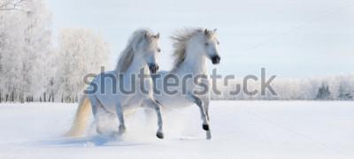 Carta da parati Due cavallini gallesi bianchi al galoppo sul campo di neve