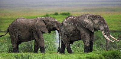 Carta da parati Due elefanti a Savannah. Africa. Kenya. Tanzania. Serengeti. Masai Mara. Un ottimo esempio.