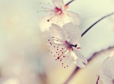 Carta da parati Due fiori di ciliegio primo piano