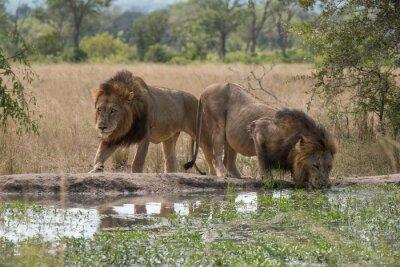 Carta da parati due fratelli leoni alla pozza d'acqua