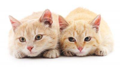 Carta da parati Due gatti rossi.