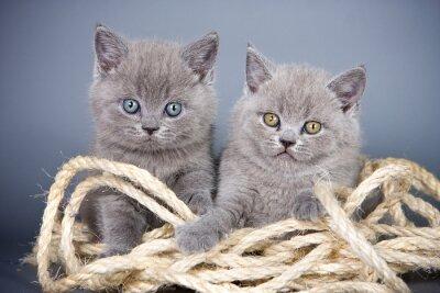 Carta da parati Due gattino grigio britannico e corda su uno sfondo grigio