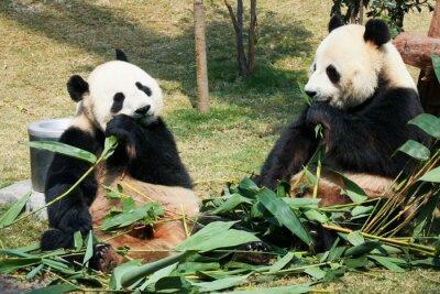 Carta da parati Due panda che mangiano bambù