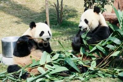 Carta da parati Due panda giganti mangiano bambù