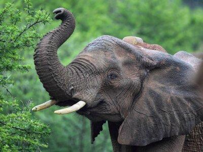 Carta da parati Elefante africano (Loxodonta africana)