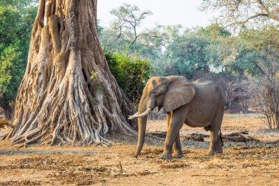 Carta da parati Elefante africano (Loxodonta), passato a piedi un grande albero