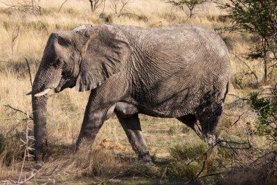 Carta da parati Elefante africano piedi attraverso il parco nazionale di Etosha, Namibia