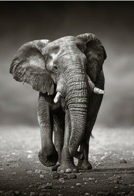 Carta da parati Elefante Approccio dal fronte