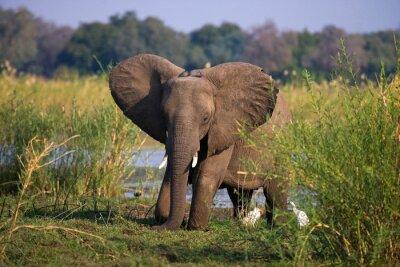 Carta da parati Elefante in piedi sul prato vicino al fiume Zambesi. Zambia. Abbassare Zambezi National Park. Zambezi River. Un ottimo esempio.