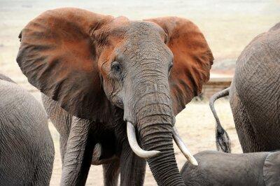 Carta da parati Elefante nel parco nazionale del Kenya