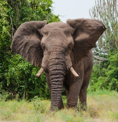 Carta da parati Elefante nella savana. Riprese da mongolfiera. Africa. Kenya. Tanzania. Serengeti. Masai Mara. Un ottimo esempio.
