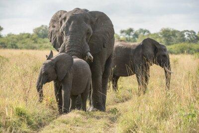 Carta da parati Elefante toro con cucciolo