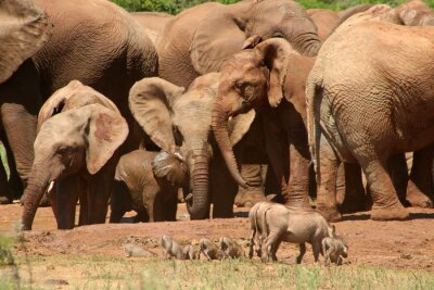 Carta da parati Elefanti ADD0 07