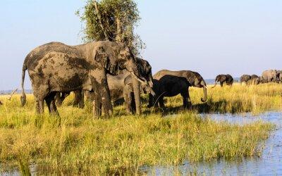 Carta da parati Elefanti che bevono dal fiume Chobe