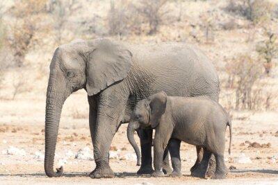 Carta da parati Elephant mucca e Calw in Namibia