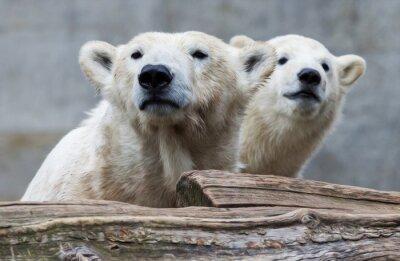 Carta da parati Famiglia dell'orso polare