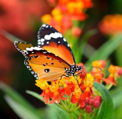 Carta da parati Farfalla sul fiore d'arancio nel giardino