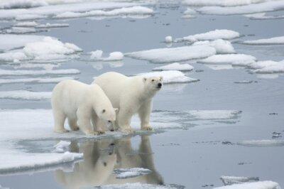 Carta da parati Femmina orso polare con Yearling Cub