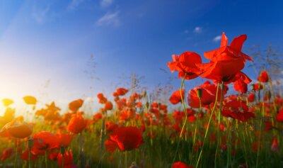 Carta da parati Field of poppies at sunrise