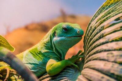 Carta da parati fiji banded iguana