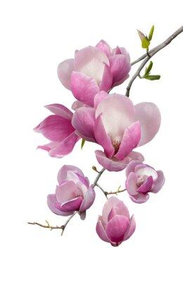 Carta da parati Filiale di fioritura della magnolia