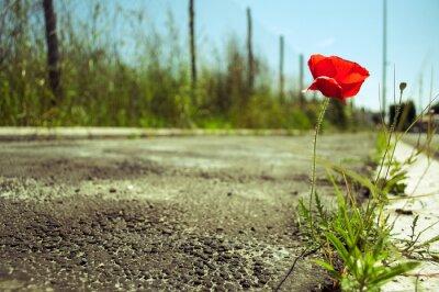 Carta da parati Fiore del papavero nel concreto: il potere di concetto di vita