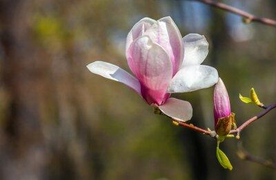 Carta da parati fiore di magnolia.