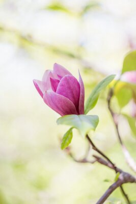 Carta da parati fiore di magnolia rosa