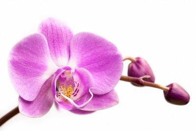 Carta da parati fiore di orchidea rosa su uno sfondo bianco. fiore di orchidea isolato.