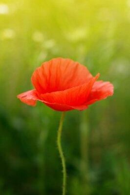 Carta da parati fiore di papavero selvatico sul campo
