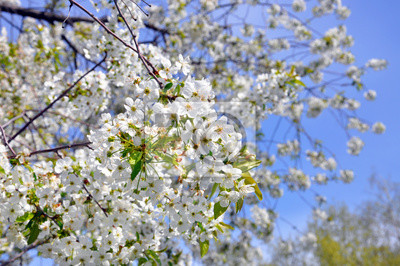 Carta Da Parati Fiori Di Ciliegio : Fiori di ciliegio contro il cielo carta da parati u carte da