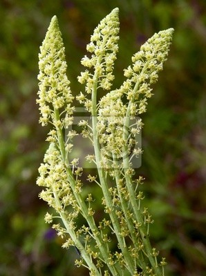 Carta da parati fiori gialli di piante selvatiche reseda