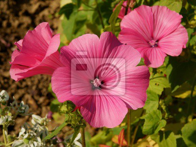 Carta Da Parati Fiori Rosa : Fiori rosa di malva carta da parati u2022 carte da parati malva