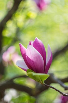 Carta da parati Fioritura di fiori di magnolia rosa in primavera
