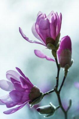 Carta da parati Fioritura magnolia rosa