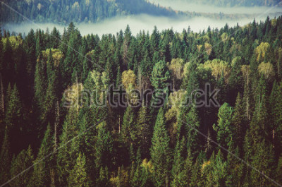 Carta da parati fitta nebbia ricoperta da una fitta foresta di conifere.
