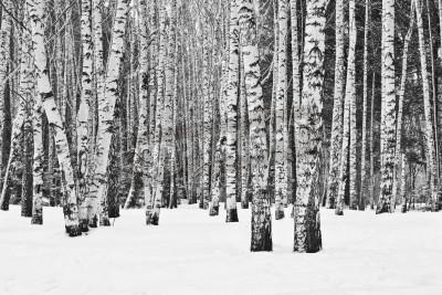 Carta da parati Foresta della betulla in inverno in bianco e nero