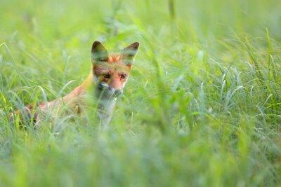 Carta da parati Fox nascosto tra l'erba in natura