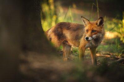 Carta da parati Fox on the estate foresta