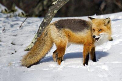 Carta da parati Fox rosso nella neve