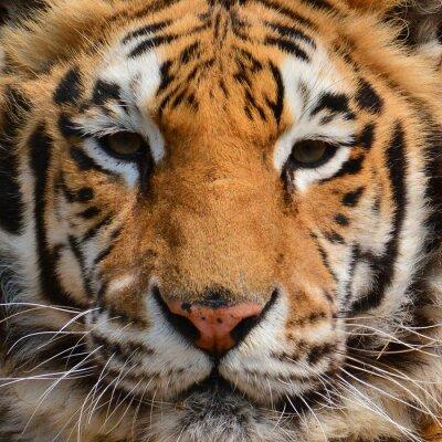 Carta da parati Fronte della tigre Primo piano