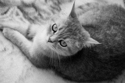 Carta da parati Gatto britannico - in bianco e nero