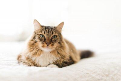 Carta da parati Gatto grigio, sdraiato sul letto
