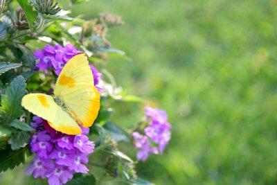 Carta da parati Giallo farfalla sui fiori viola sfondo