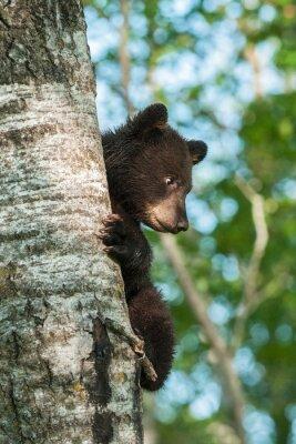 Carta da parati Giovane orso nero (Ursus americanus) su un fianco di Albero