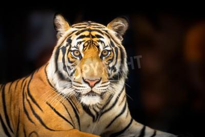 Carta da parati Giovane tigre siberiana su sfondo scuro in azione cercando di fotocamera
